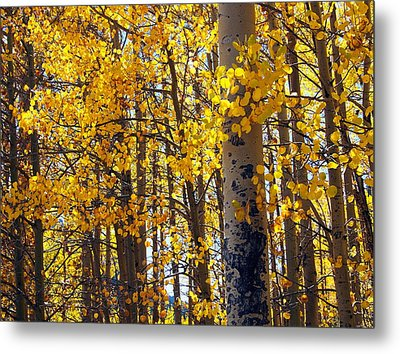 Among The Aspen Trees In Fall Metal Print