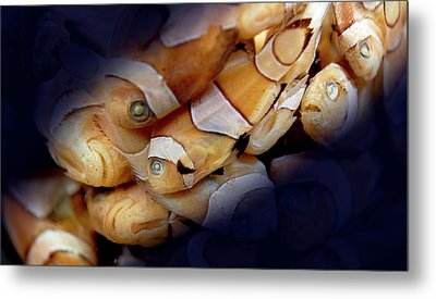 Amphiprion Sp. Metal Print by Natural History Museum, London