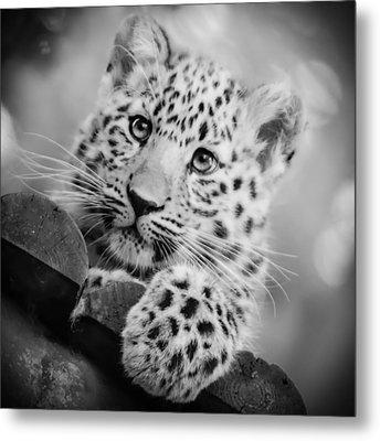 Amur Leopard Cub Portrait Metal Print