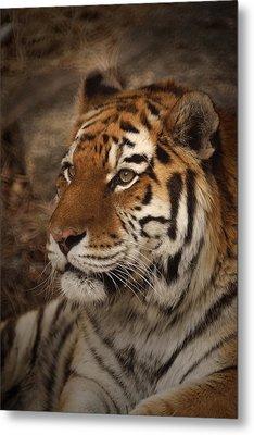 Amur Tiger 2 Metal Print