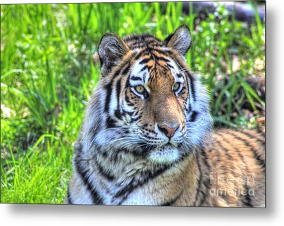Amur Tiger 6 Metal Print by Jimmy Ostgard