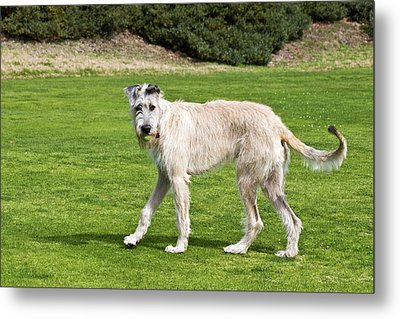 An Irish Wolfhound Puppy Playing Metal Print by Zandria Muench Beraldo