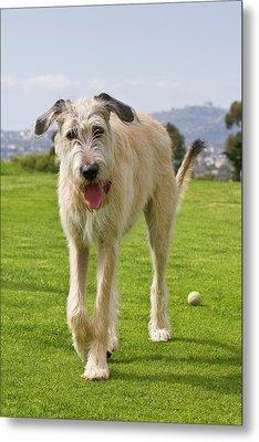 An Irish Wolfhound Puppy Walking Away Metal Print by Zandria Muench Beraldo