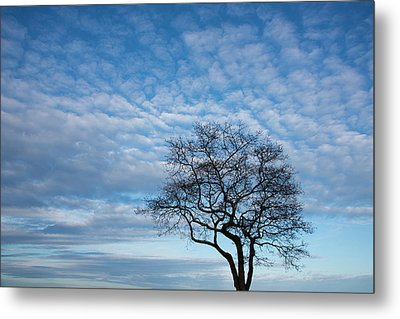 An Oak Tree On Masons Island Metal Print by Michael Melford