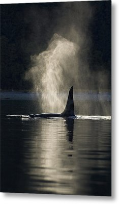 An Orca Whale Exhales Blows Metal Print by John Hyde