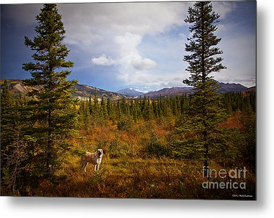 Anatolian Shepherd Metal Print by Chris Heitstuman