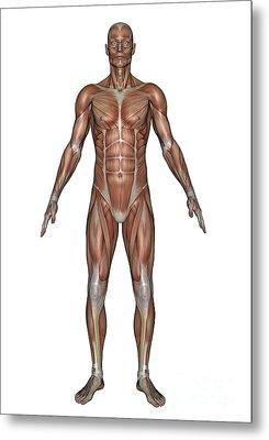 Anatomy Of Male Muscular System, Front Metal Print by Elena Duvernay
