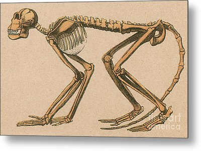 Ancient Monkey Mesopithecus Pentelicus Metal Print by Science Source