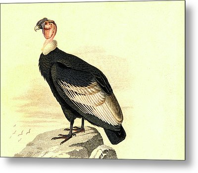 Andean Condor Metal Print by Collection Abecasis