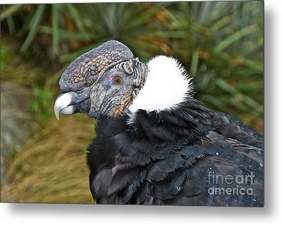 Andean Condor Metal Print by William H. Mullins
