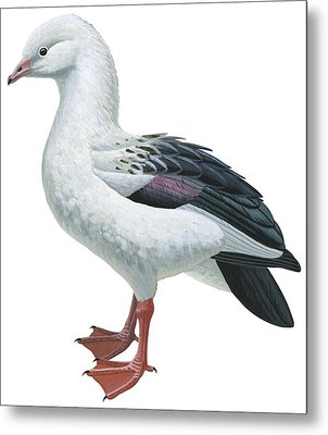 Andean Goose Metal Print by Anonymous