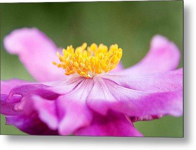 Anemone Flower Close Up Metal Print by Natalie Kinnear