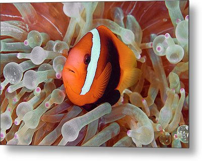 Anemonefish Among Poisonous Tentacles Metal Print by Jaynes Gallery