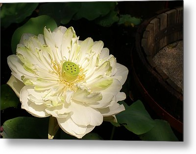 Angel Lily  Metal Print by Gregory Smith