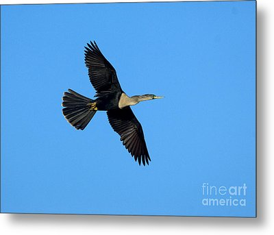 Anhinga Female Flying Metal Print by Anthony Mercieca