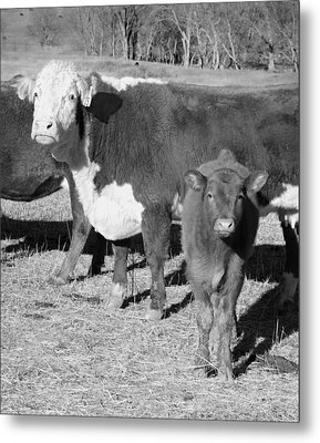 Animals Cows The Curious Calf Black And White Photography Metal Print by Ann Powell