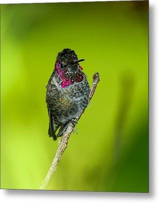 Anna's Hummingbird 2014 Metal Print