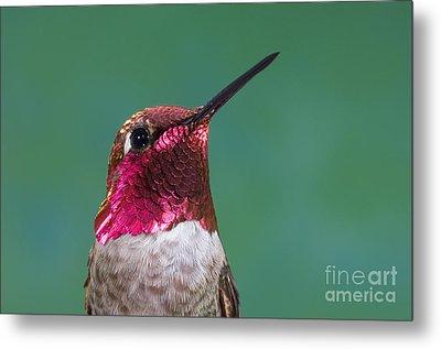 Annas Hummingbird Metal Print by Anthony Mercieca