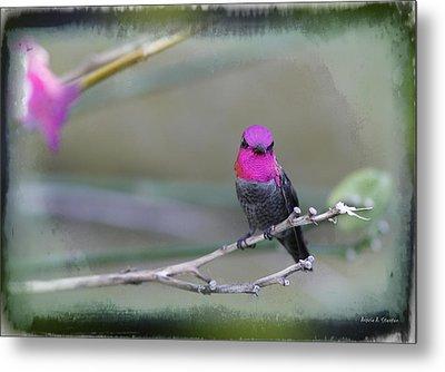 Anna's Hummingbird - Male Metal Print by Angela A Stanton