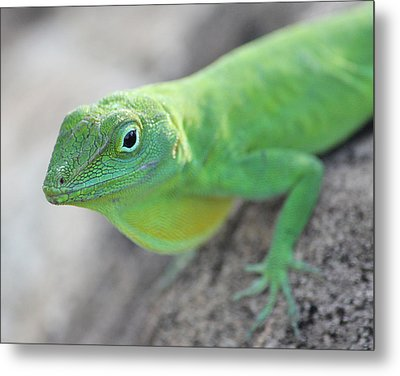 Anole Metal Print by Jose Oquendo