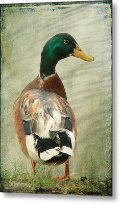 Metal Print featuring the photograph Another Duck ... by Chris Armytage