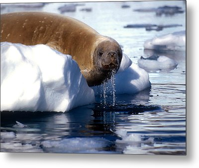 Metal Print featuring the photograph Antarctic Crabeater Seal by Dennis Cox WorldViews