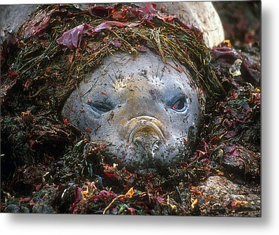 Metal Print featuring the photograph Antarctic Elephant Seal by Dennis Cox WorldViews