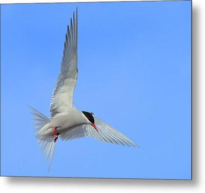 Antarctic Tern Metal Print by Tony Beck