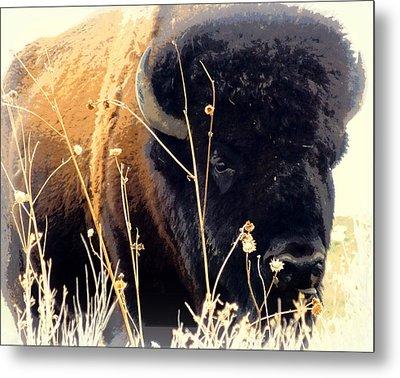 Antelope Island Buffalo Metal Print by Heidi Manly