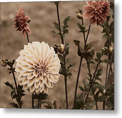 Metal Print featuring the photograph Antiqued Dahlias by Jeanette C Landstrom