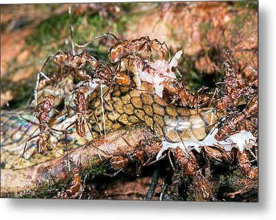 Ants Feeding On A Decomposing Snake Metal Print by Dr Morley Read