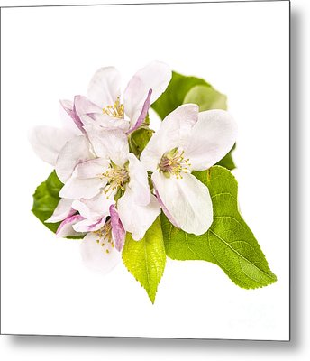 Apple Blossom Metal Print by Elena Elisseeva