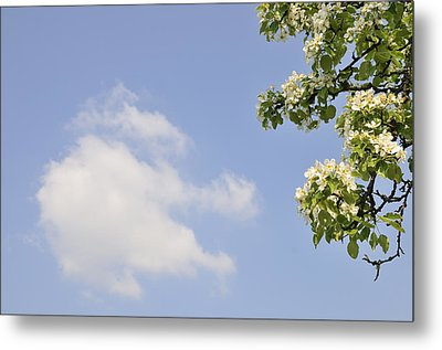 Apple Blossom In Spring Blue Sky Metal Print by Matthias Hauser