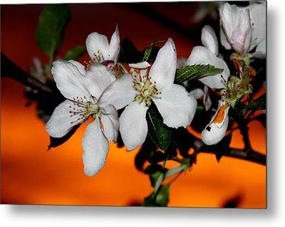 Apple Blossom Sunrise I Metal Print