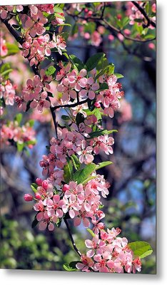 Apple Blossom Time Metal Print by Katherine White