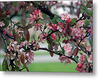 Metal Print featuring the photograph Apple Blossom Time by Kay Novy