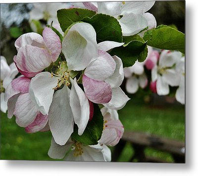 Apple Blossoms 2 Metal Print by VLee Watson