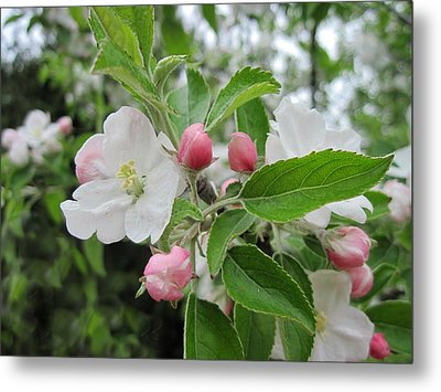 Apple Blossoms And Buds Metal Print by Patricia E Sundik