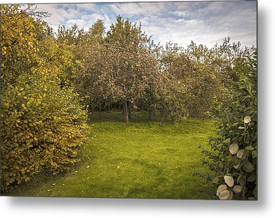 Apple Orchard Metal Print by Amanda Elwell