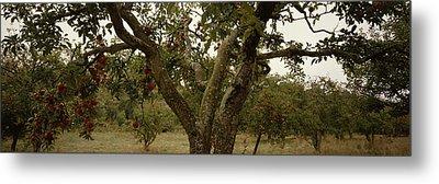 Apple Trees In An Orchard, Sebastopol Metal Print