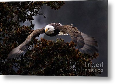 Approaching Eagle-signed- Metal Print by J L Woody Wooden