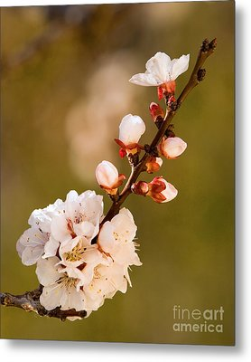 Apricot Blossom At Sunrise Metal Print