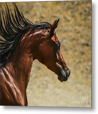 Arabian Mare II Metal Print by Holly Martin