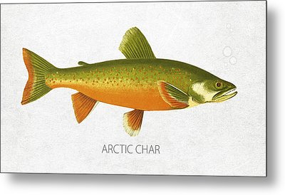 Arctic Char Metal Print by Aged Pixel