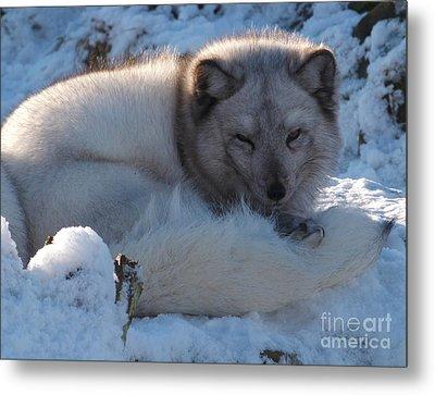 Arctic Fox - Winter Coat Metal Print