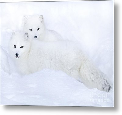 Arctic Foxes In The Snow Metal Print