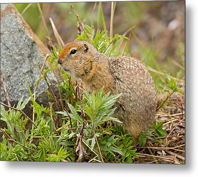 Arctic Ground Squirrel Metal Print by Brian Magnier