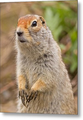 Arctic Ground Squirrel Close-up Metal Print by Brian Magnier