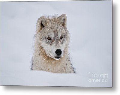 Arctic Pup In Snow Metal Print by Wolves Only