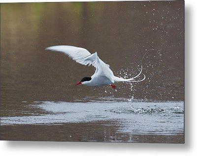 Arctic Tern Fishing Metal Print by Ken Archer